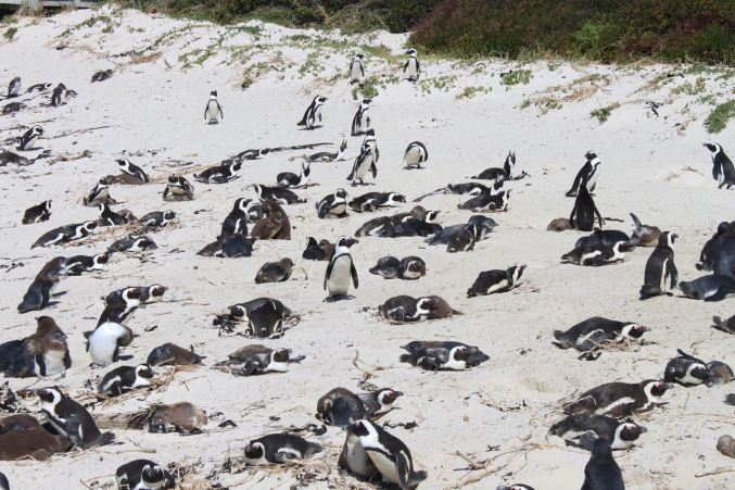 Penguins on the beach in Cape Peninsula, SA by Tricia Jenkins